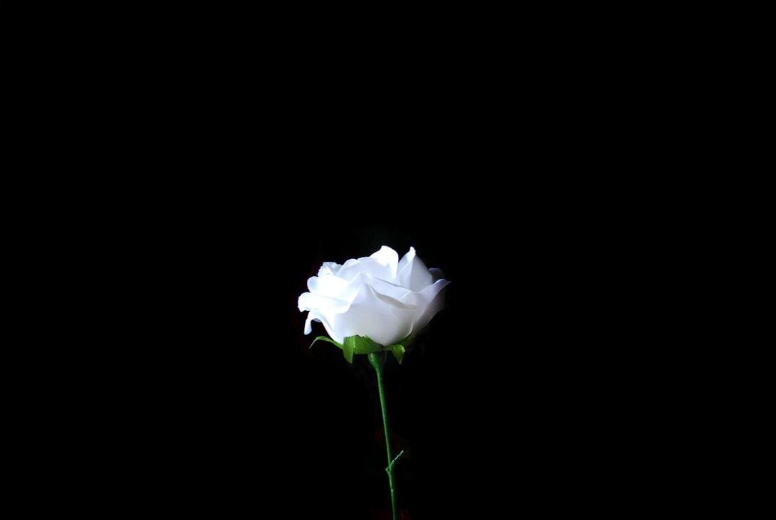 Pope Francis' White Rose